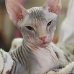 Выставка экзотических кошек и грызунов