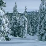 Разрешение на елочку выпишут в Серовском лесничестве