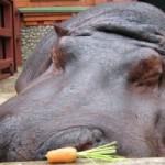 Умер старейший в мире бегемот