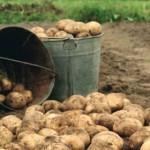 В Серове у пенсионерки украли 25 ведер картошки