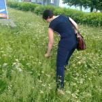 Серовские газоны зарастают травой
