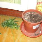 Серовчане выращивали коноплю на подоконнике
