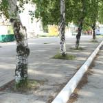 Жители Серова бьют тревогу: березы умирают на глазах