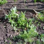 Серовские наркополицейские собирают «урожай»