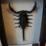 Скорпион гигантский. Малайзия