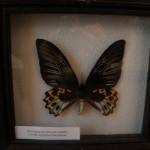Птицекрылка Ипполит (самка). Индонезия.