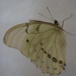 Бабочка морфид или бабочка алкоголичка.