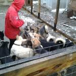 Серовские волонтеры собирают помощь для новоуральского приюта для бездомных животных