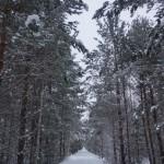 """От железной дороги, соединявшей """"зоновские"""" поселки, осталась только живописная аллея. Фото: Екатерина Баязитова, """"Глобус"""""""