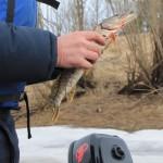 """Следов от сети на щуке нет, значит поймана она законным методом. Фото: Константин Бобылев, """"Глобус""""."""
