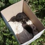 Неравнодушная серовчанка приютила бездомных котят, но им все еще нужны заботливые хозяева