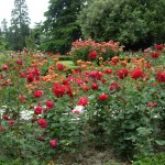 Оранжерея роз в Никитском ботаническом саду
