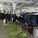 Вы заметили, что все коровы в стойлах, а одна свободно ходит – в проходе корм ела? –поинтересовался Аксан Сулейманов, руководитель ООО «Юбилейное», когда мы вышли из коровника. – Она ногу ломала, лечить такое сложно, а под нож жалко. Попробовали выходить. Теперь ходит, молоко у нее берем. С коровами по-доброму надо, они живые, они чувствуют, ни в коем случае нельзя кричать и тем более бить.