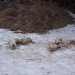 Собаки (3)