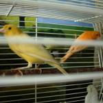 Желтый кенар – самый громкий певец, а оранжевый «монстр», его «супруга», так и не захотела позировать. Фото: Андрей Гребенкин, «Глобус»