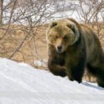 Медведь осенью, после первого снега, опасен — он старается запастись жирком на долгую спячку. Фото: forphone.axipix.ru