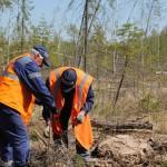 На территории СЕровского лесничества высаживали ель и сосну. Фото: предоставлено Серовским Лесничеством.