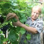 Все возможно, даже виноград и арбузы на севере Свердловской области. Фото: Алла Брославская, «В каждый дом»