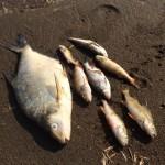 По пока не выясненногй причине в реке Сосьва погибло много рыбы. Пострадала как крупная так и мелкая. Фото: предоставлено Натальей У.