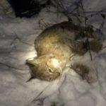После поимки животное было доставлено Ветеринарную лечебницу. Фото: предоставлено 56 ПСЧ.