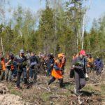 Лесовосстановление осуществляют на территории пострадавшей от пожаров, либо там, где были вырубки. Фото: Серовское лесничество.