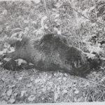 На теле медведя были обнаружены следы, характерные для столкновения с поездом. Фото: предоставлено Серовской транспортной прокуратурой.