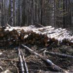 """Вырубка леса за профилакторием """"Росинка""""."""