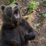 Вне зависимости от размеров медведя, его поведения и внешнего вида, относитесь к нему как к грозному и мощному хищнику, с непредсказуемым поведением. Фото: pixabay.com.