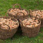 Ведущие производители картофеля из России, ближнего зарубежья и Европы соберутся на Среднем Урале. Фото: https://pixabay.com/ru/картофель-корзина-урожай-садить-1326281/